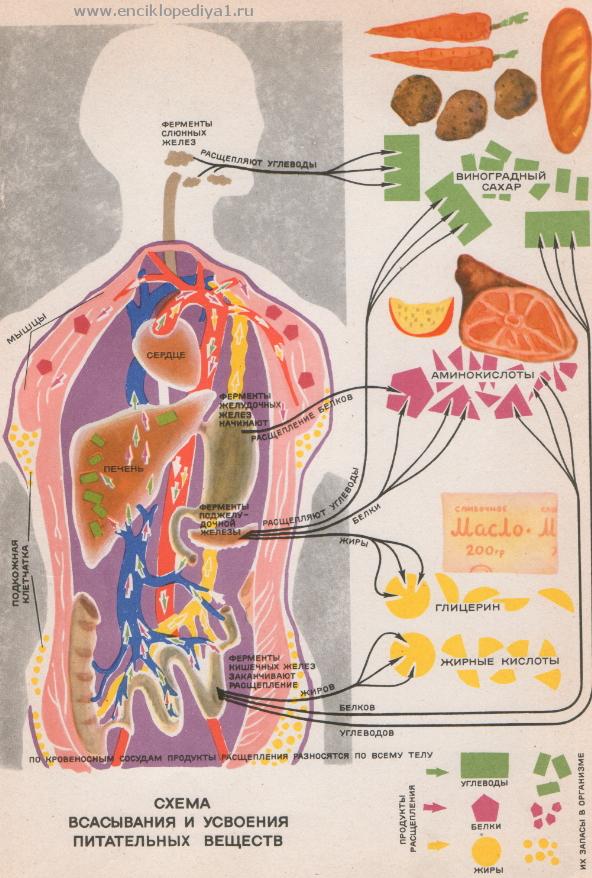 Как работает поджелудочная железа